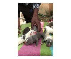 Pitbull pups for sale looking great to see this thing
