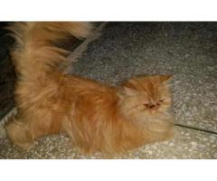 Golded Female Persian Cat for sale