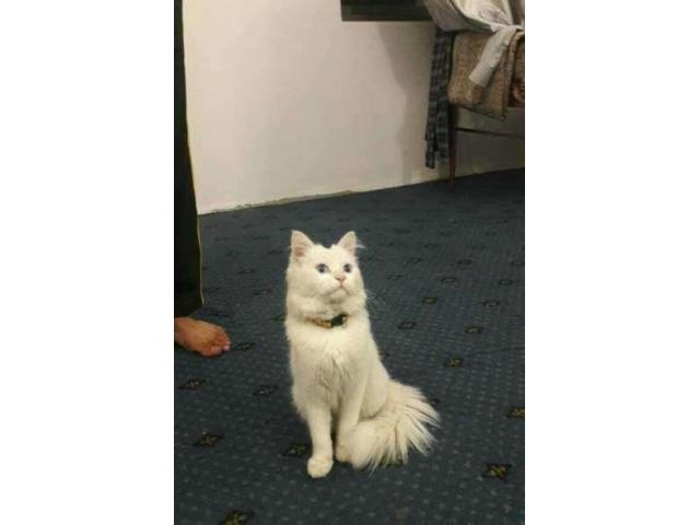 White persian male cat for sale