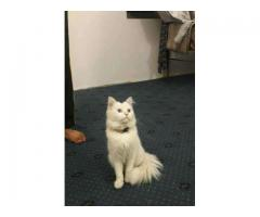 White persian male cat for sale