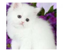 Pure Persian snow white male kitten for sale