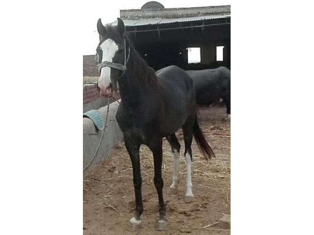 Female horse for sale good health