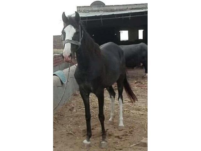 Female horse for sale good health