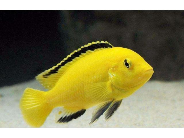 Cichlid fish,hand tamed mein 6 pieces, free delivery