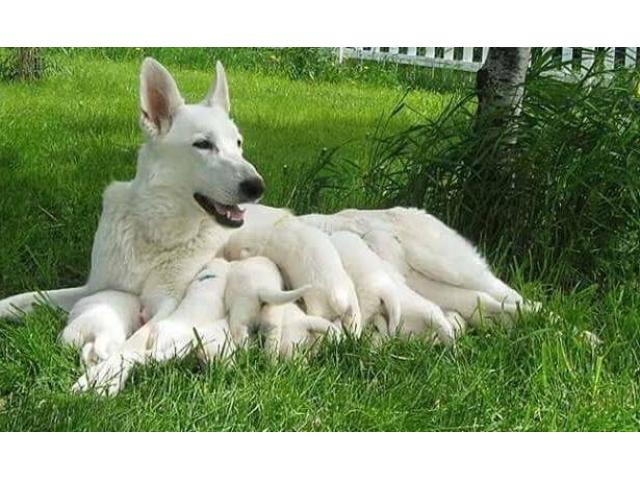 Pure White German shepherd Puppies Pair available for sell