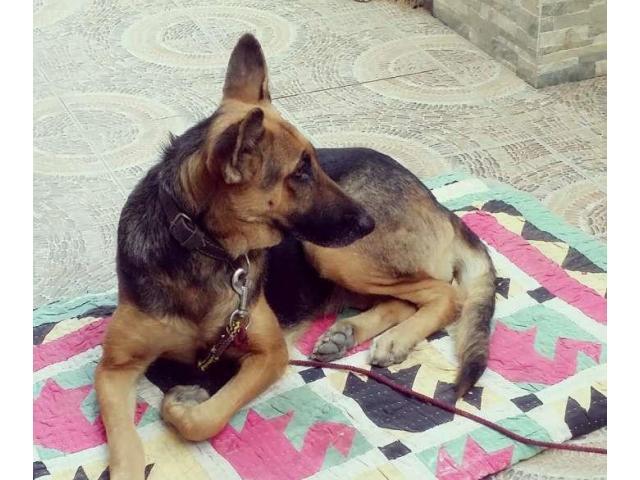 Female german sherpherd dog for sale