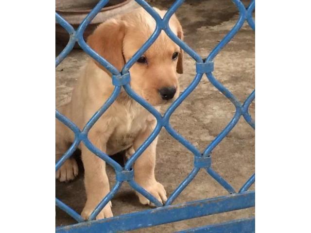 Labrador female puppy for sale
