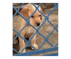 Labrador female puppy for sale