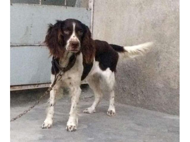 Cocker spaniel breeder female for sale