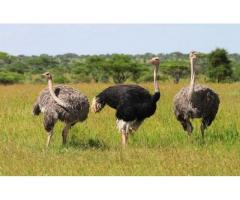 50 Ostrich(shiter murg) Available for Sale in Multan Punjab
