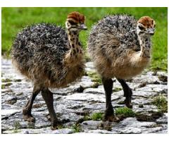 Start your Ostrich Farm Business Ostrich chicks available at Discounted Price