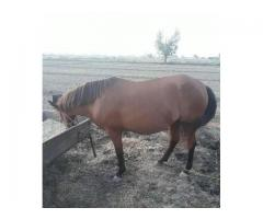 Beautiful horse for sale in good hands