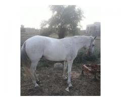 Beautiful horse for sale in good hands and price