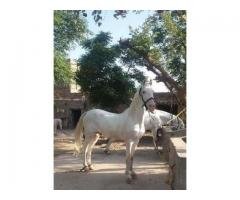 Pure white beautiful horse for sale in good hands