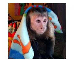 BABY CAPUCHIN  MONKEYS FOR SALE, HOME TRAINED.