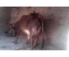 Sahiwall cow for sale in good hands