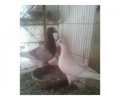 German beauty breading pair for sale in good rates