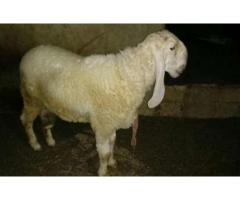 2 teeth cheep halti and active for sale in good price