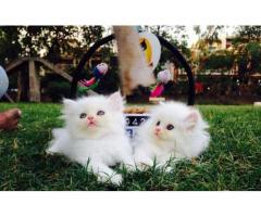 Show quality Persian kittens for sale in good price