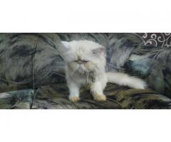 1 Male Triple coat Persian kitten/cat for sale in good price