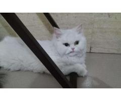 I am selling my pure persian full white one year old female cat