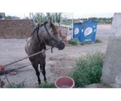 Big beautiful male horse for sale in good price