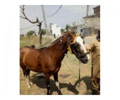 Horse for sale in good price