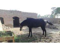 Horse for sale in good price please contact us