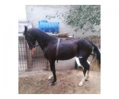 High speeder horse for sale in good price