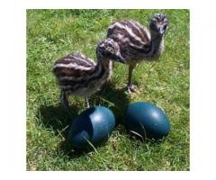 Beautiful Emu Chicks and peregrine  falcon birds for sale