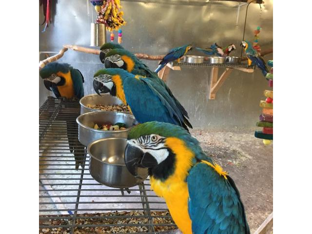 Hand reared Macaw parrots available with DNA Certificate