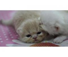 Persian cats adult & kitten for sale in good rate