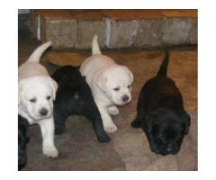 Labrador pups for sale in good amount
