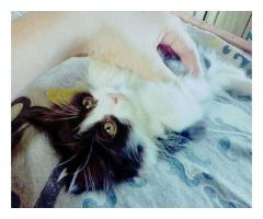 Persian male for sale in good amount