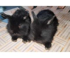 Black loin bunnies FOR SALE in good price