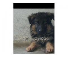 Gsd long hair puppies for sale in good rates