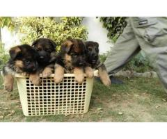 German Shepherd Puppy Pair Self Feeding for Sell today offer