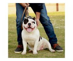 American Pittbull Puppies Show Quality for sale in good amount
