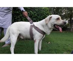 Male Labrador Retriever 2.5yrs for sale in good amount