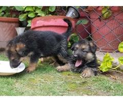 German Shepherd Puppies FOR sale in good amount