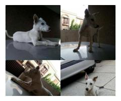 White Alsatian FOR sale in good amount