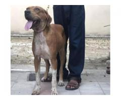 Bulli female FOR SALE IN GOOD AMOUNT