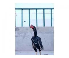 Assel thai cross murga FOR SALE in good amount