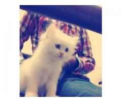 Sweet bule eyes kitten for sale in good amount