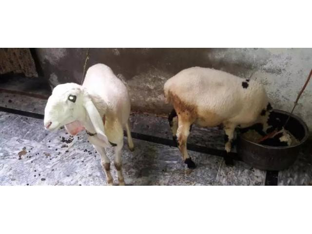 Sheeps for sale in good amount Rawalpindi - Local Ads - Free