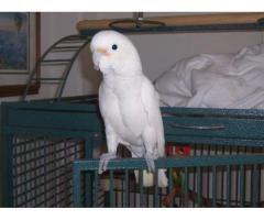 Well Socialized Male and Female cockatoo Parrots For Re Homing,