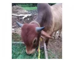 A beautiful qurbani cow for sale