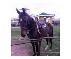 Horse for sALE IN GOOD AMOUNT