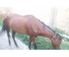Red mare for sale in good amount