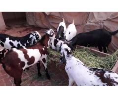 All desi goats for sale in good amount if you want that